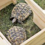 La caseta para tortugas pequeña Blitzen tiene techo extraible para vigilar a las mascotas