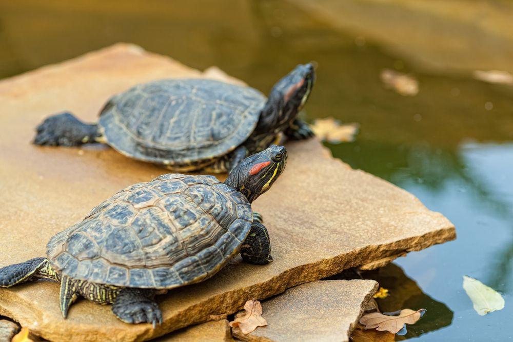especie de tortugas de agua